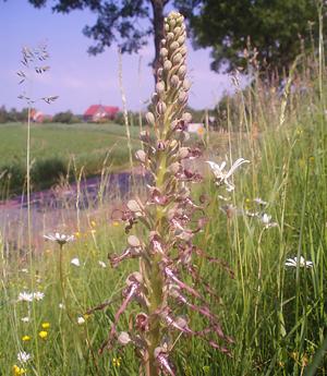 Bokkenorchis-op-een-bloemdijk-nabij-Nieuwe-Vossemeer